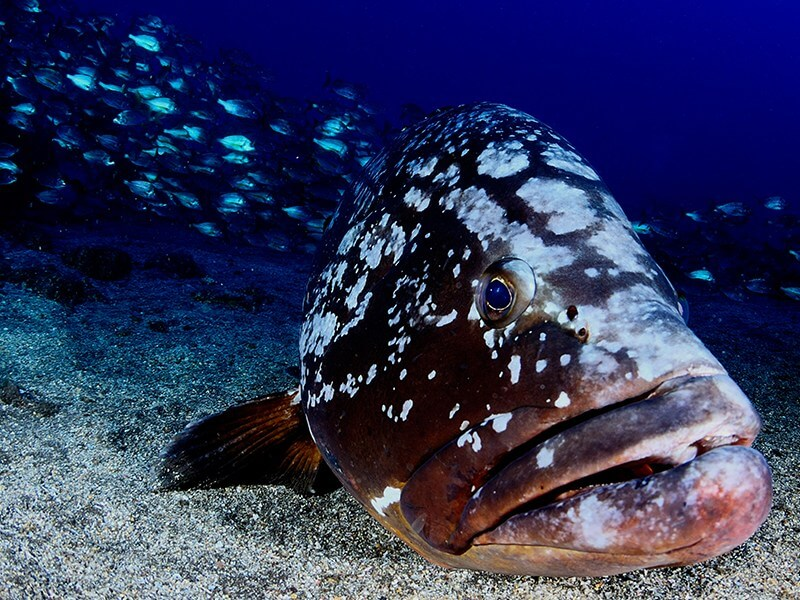 Grouper in Garajau